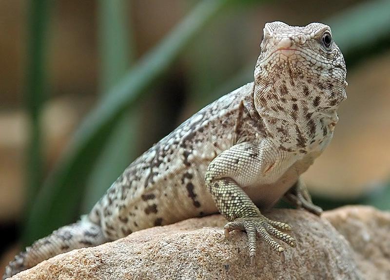 Iguanidae Leguan Iguanidae